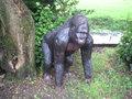 bokito aap gorilla